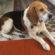 Jonny bellissimo beagle in famiglia